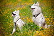 two siberian huskies on a flower field