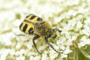gebänderter pinselkäfer- Trichius fasciatus
