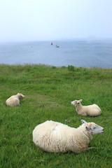 bretagna isola ouesant pecore al pascolo