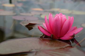Seerose fleur de lotus