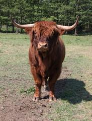 Schottisches Rind