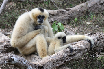 White Cheeked Gibbon or Lar Gibbon with baby