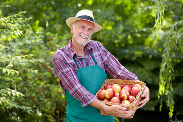 Senior gardener is presenting a basket full of apples