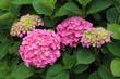 Grandes fleurs de  Hortensia rose