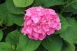 Fleur de hydrangea
