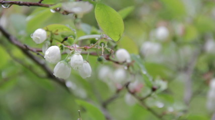 Blueberry Blossoms with morning dew.