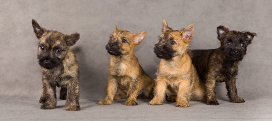 Cairn terrier dog group