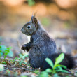 Closeup of a red squirrel (Sciurus vulgaris)