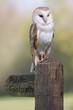 Barn Owl On Post