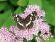 Бабочка пестрокрыльница (Araschnia levana) на цветах спирей