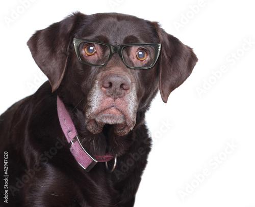 Labradro retriever in glasses.