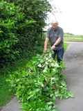 Man dragging hedge clippings
