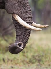 Trunk of an Elephant