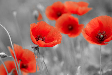 red poppies on b/w field