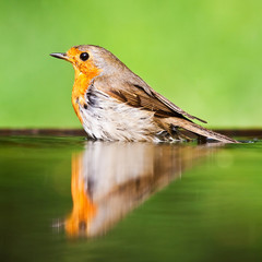Red robin in the water