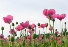 Champ de coquelicots roses