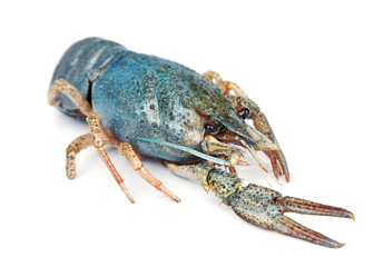 sea crayfish