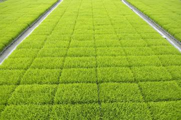 rice fields in row