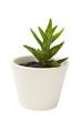 Aloe Vera plant in the white clay pot