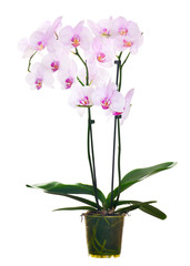 light pink orchid flowers in pot on white background