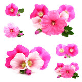 Beautiful decorating hollyhock flowers /Althaea officinalis/
