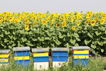 bee hive and sunflowers field