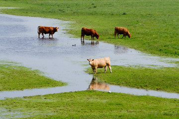Cows on flooded farmland