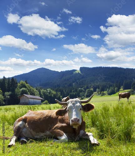 Fototapeten,kühe,kühe,wiese,bergwiese