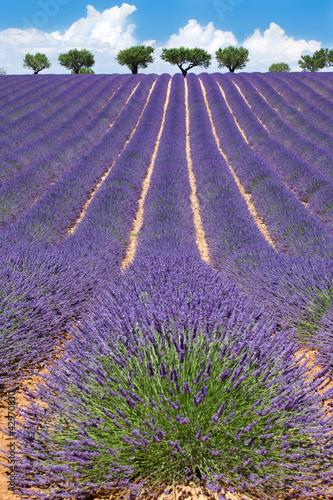 Lavender Valensole Pole