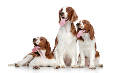 Welsh springer spaniel dogs on white background