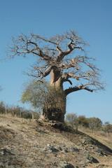 Namibia. Albero Baobab