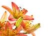 lily orange