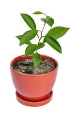tangerines plant