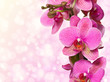 orchid isolated on pink background