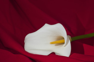 Beautiful calla flower on red background