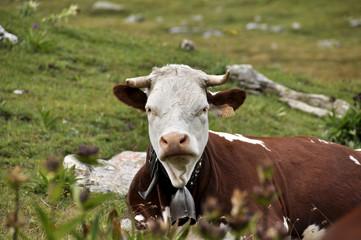 vaca alpes