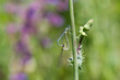 Common Bluetail Damselfly (dragonfly, Ischnura heterosticta)