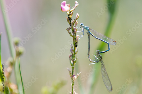 Common Bluetail Damselflies Mating (Ischnura heterosticta)