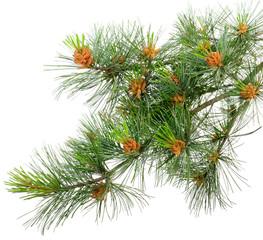 branch cedar pine with pollen