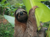 Sloth in a banana tree