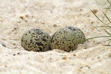 Austernfischer-Eier