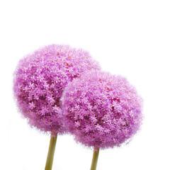 Allium Blüten