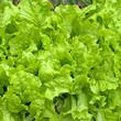 Gartensalat