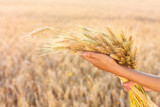 Ripe ears wheat in woman hands in a wheat field