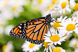 Fototapeta Monarch butterfly on flower