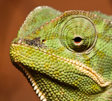 Macro of green cameleon