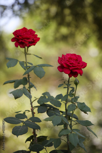 Two long-stemmed roses in the garden