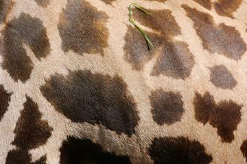 Hintergrund Giraffenhaut