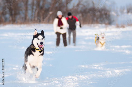 Siberian husky walking on snow