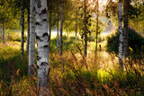 Fototapety Birch trees